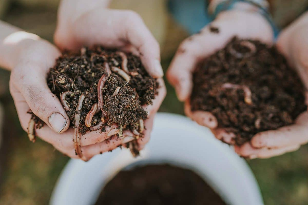 Kompostwürmer startpopulation kompostwürmer eisenia foetida mix