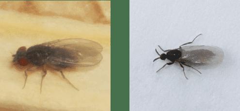 fliegen in der wurmkiste wurmkomposter fruchtfliege + trauermücke wurmkiste.at regenwurmzucht