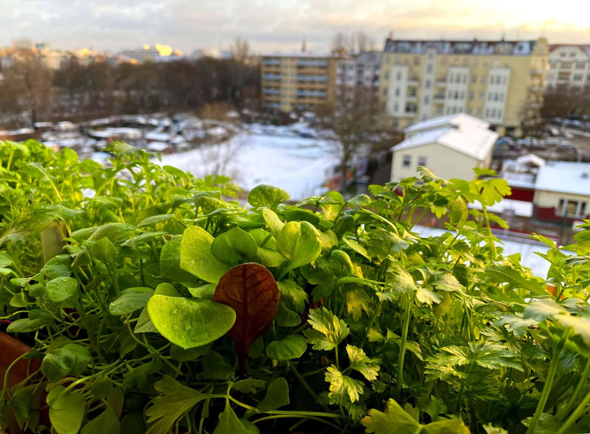 Balkonkasten mit Wintergemüse auf dem Fensterbrett Asia-Salat Mizuna, Winterpostelein, Stielmangold, Schnittsellerie.