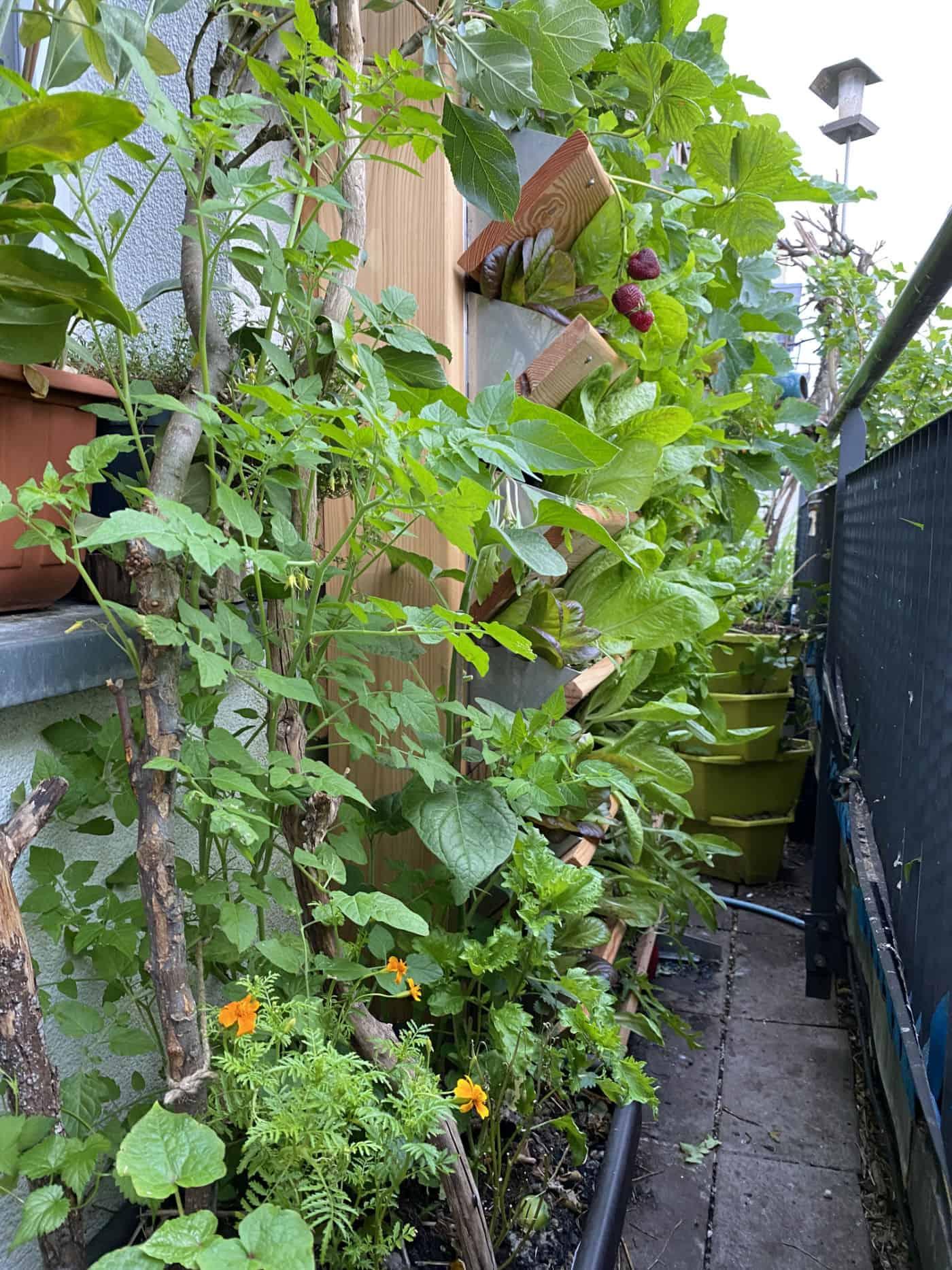 Naschbalkon mit Hopfen, Baumspinat, Gewürztages, Wildtomate, Andenbeere, Apfelbaum, Vertikalbeet mit Erdbeere, Sommersalat.